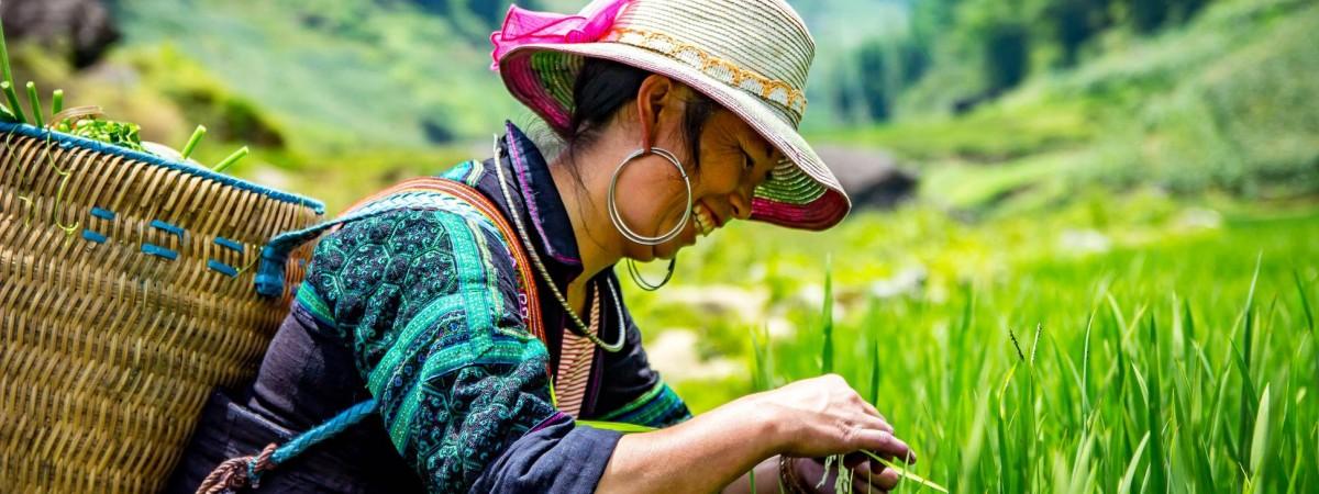 Woman picks rice in field in Sapa, Vietnam
